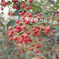 大量供应泰山红花椒九叶青