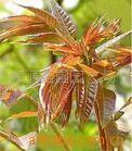 泰安红香椿.红香椿图片