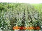 供应苹果树苗木,苹果苗基地.伏质苹果苗