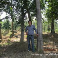 大量出售5-15公分法桐,树形好无病害,易栽、成活率高