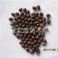 出售曼地亚红豆杉种子、萌发力强,耐低寒、销售各种苗木