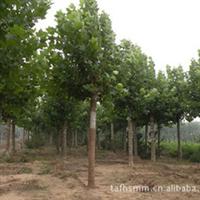 专业供应绿化工程用优质法桐   欢迎咨询   量大优惠