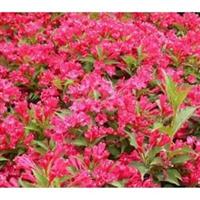 长期生产销售优质园林植物绿化苗木