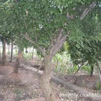 供应绿化苗木 三角枫 安吉苗圃现货供应