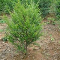 供应湖南优质红豆杉3--8公分
