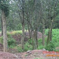 供应木瓜树苗 三角枫,木瓜,皂角,朴树