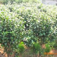 【现货】大量提供自产自销各种规格 茶花