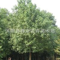 苗圃直销。高杆女真,大叶女贞。桢树1.5米定杆