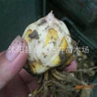 【基地直销】香水百合种球 **红花百合 百合球根 白花百合厂