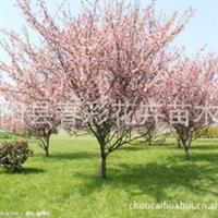 苗圃直销樱花,晚樱,早樱。仙樱花、福岛樱、青肤樱、荆挑