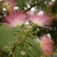 嵊州种植基地供应合欢树苗木