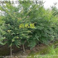 供应绿化苗木 乔木 鸡爪槭 4公分