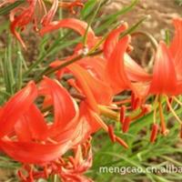 细叶百合—-蒙草抗旱绿化苗木—地被类—耐寒花色艳丽