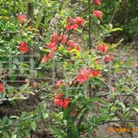 各种规格的贴梗海棠,日本海棠等苗木