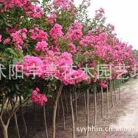 批发零售   红花紫薇苗   支持货到付款