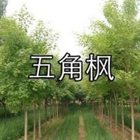 五角枫 秀丽槭,槭树科、槭树属