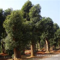 产地热销大量3.5-4m高优质香樟