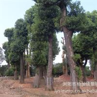 厂家自产自销大量优质园林绿化乔木香樟