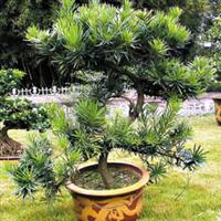 出售罗汉松树跟球型 造型大罗汉松 规格齐全 品种多样