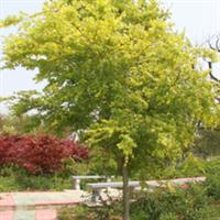 供应优质中小规格鸡爪槭