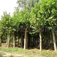 大量销售供应绿化苗木法桐