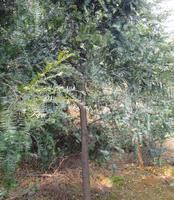 供应优质灌木绿化苗木 红豆杉