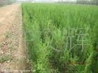 园林绿化苗木,油松苗,批发供应带营养袋油松小苗,果树苗木厂