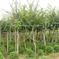 园林绿化苗木,批发供应五角枫,五角枫