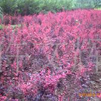 园林绿化苗木,红叶小臂苗地基,红叶小臂苗