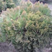 园林绿化苗木,供应优质洒金柏苗木,绿化洒金柏苗木,1米洒金柏