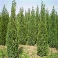 园林绿化苗木,绿化侩柏苗木,1米侩柏苗木