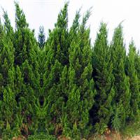园林绿化苗木,供应优质绿化龙柏苗,1米龙柏苗木