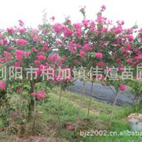 供应大量绿化园艺落叶性乔木优质紫薇/百日红