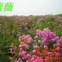 紫薇,惊儿树,百日红,满堂红,痒痒树,绿化苗木