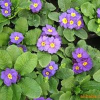 供应西洋樱草、用于花坛、花带、花丛、花境厂