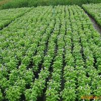 供应夏堇、用于公园、花坛、广场、小区等摆放厂