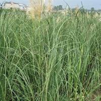 供应花境观赏草、庭院栽培植物蒲苇