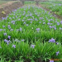 供应蓝花鸢尾、用于花镜、花丛、公路两旁绿化厂