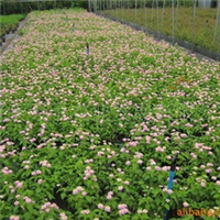 供应马樱丹、多用于花带、花丛、花镜、