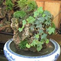 供应:红豆杉、大.小叶赤楠(图)