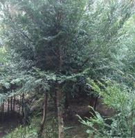 深圳惠州基地自产自销大小红豆杉,苗圃准备搬迁,平卖