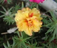 萧山地被植物-蜀葵,羽扇豆,紫萼,马蔺,大花剪秋罗