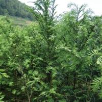 常年供应;南方红豆杉,大小规格齐全