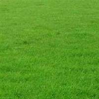 热卖细叶矮生 美国进口草坪种子比赛2000 合适庭院绿化16元500克