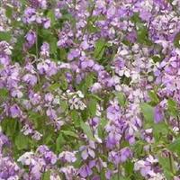 供应彩包种子 观赏草坪 紫色 二月兰种子 2.5元1袋