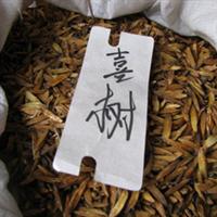 当年新采高大乔木类种子 喜树种子 22元一斤