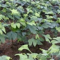绿化苗木/行道树苗/庭院绿化/银杏苗/银杏树苗