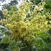 特价销售栾树苗 大小规格齐全 适用于各种绿化工程