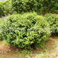 长沙跳马乡花艺园艺场专业供应大量优质常绿性灌木山茶花