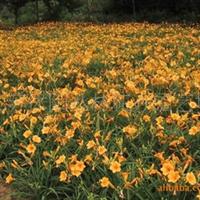 大量供应迎春、月季、茶花、紫鹃、榆叶梅等低价出售